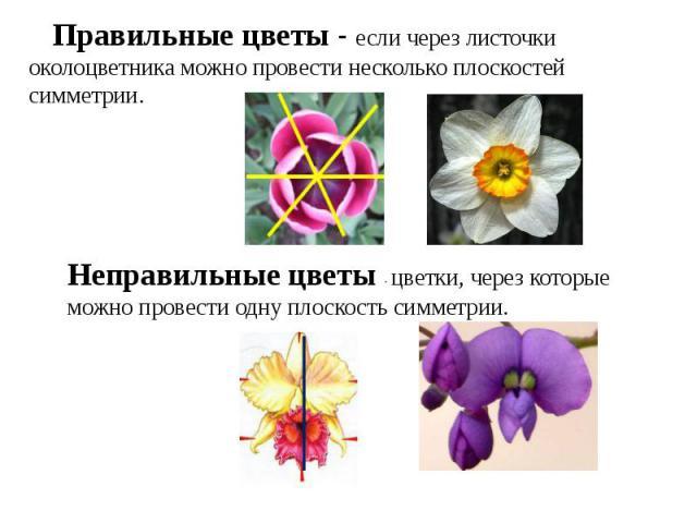 Правильные цветы - если через листочки околоцветника можно провести несколько плоскостей симметрии.Неправильные цветы - цветки, через которые можно провести одну плоскость симметрии.