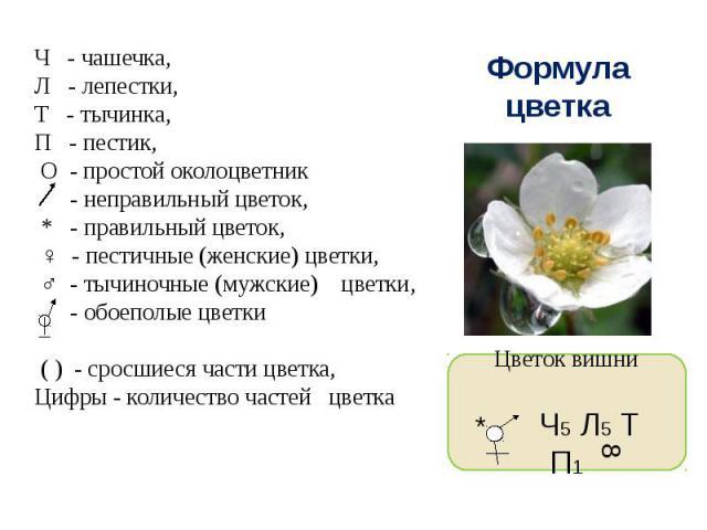Ч - чашечка,Л - лепестки,Т - тычинка,П - пестик, О - простой околоцветник - неправильный цветок, * - правильный цветок, ♀ - пестичные (женские) цветки, ♂ - тычиночные (мужские) цветки, - обоеполые цветки ( ) - сросшиеся части цветка,Цифры - количес…
