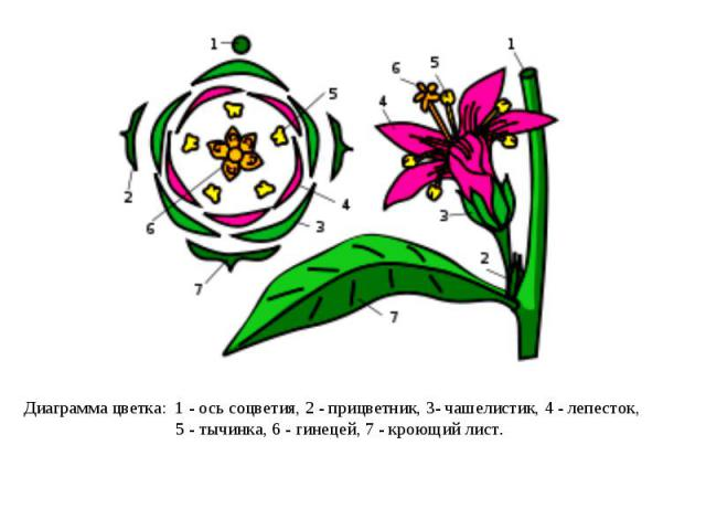 Диаграмма цветка: 1- ось соцветия, 2- прицветник, 3- чашелистик, 4- лепесток, 5- тычинка, 6- гинецей, 7- кроющий лист.