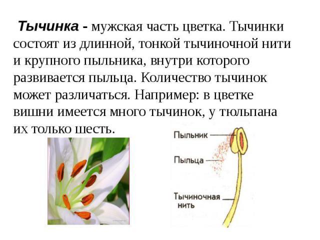 Тычинка - мужская часть цветка. Тычинки состоят из длинной, тонкой тычиночной нити и крупного пыльника, внутри которого развивается пыльца. Количество тычинок может различаться. Например: в цветке вишни имеется много тычинок, у тюльпана их только шесть.
