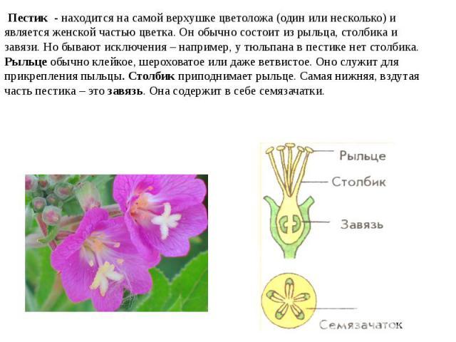 Пестик - находится на самой верхушке цветоложа (один или несколько) и является женской частью цветка. Он обычно состоит из рыльца, столбика и завязи. Но бывают исключения – например, у тюльпана в пестике нет столбика. Рыльце обычно клейкое, шерохов…