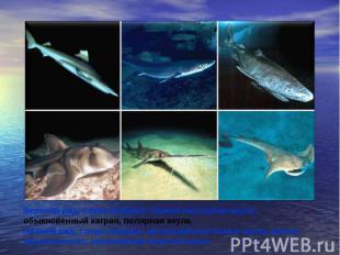 Верхний ряд, слева направо: чёрная пилозубая акула, обыкновенный катран, полярна
