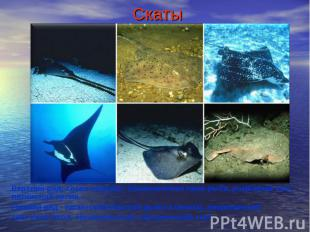 СкатыВерхний ряд, слева направо: обыкновенная пила-рыба, ромбовый скат, пятнисты