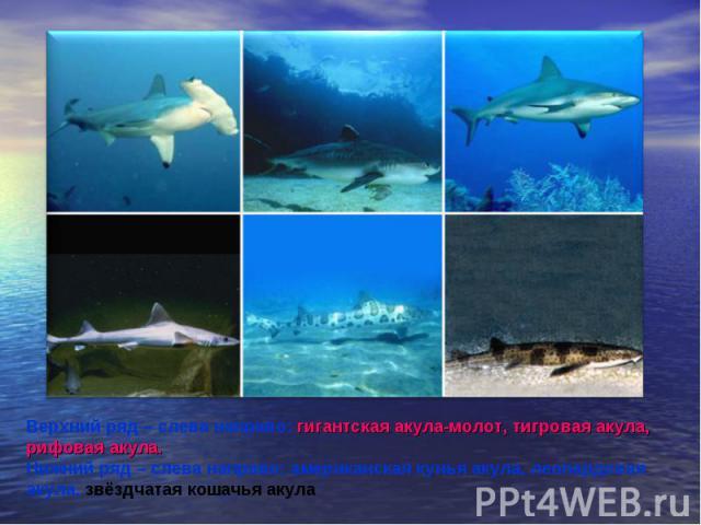 Верхний ряд – слева направо: гигантская акула-молот, тигровая акула, рифовая акула. Нижний ряд – слева направо: американская кунья акула, леопардовая акула, звёздчатая кошачья акула