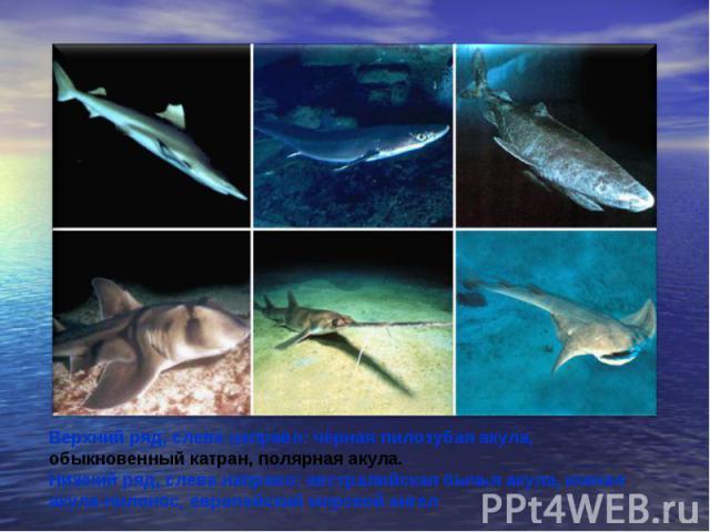Верхний ряд, слева направо: чёрная пилозубая акула, обыкновенный катран, полярная акула. Нижний ряд, слева направо: австралийская бычья акула, южная акула-пилонос, европейский морской ангел