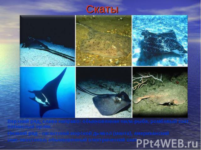 СкатыВерхний ряд, слева направо: обыкновенная пила-рыба, ромбовый скат, пятнистый орляк.Нижний ряд - гигантский морской дьявол (манта), американский скат-хвостокол, обыкновенный электрический скат