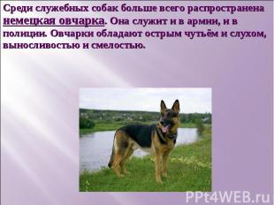 Среди служебных собак больше всего распространена немецкая овчарка. Она служит и