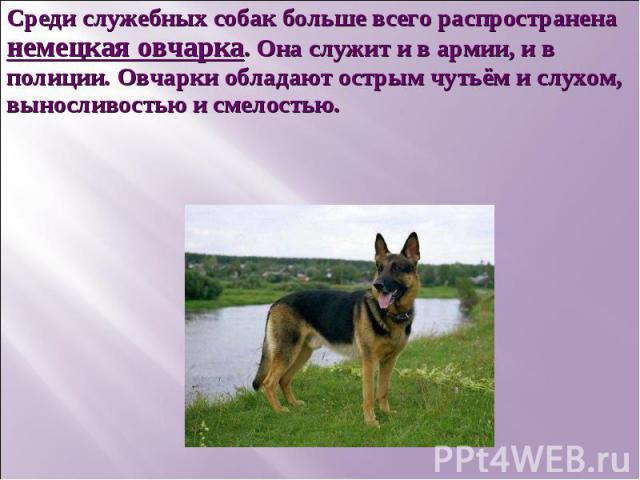 Среди служебных собак больше всего распространена немецкая овчарка. Она служит и в армии, и в полиции. Овчарки обладают острым чутьём и слухом, выносливостью и смелостью.
