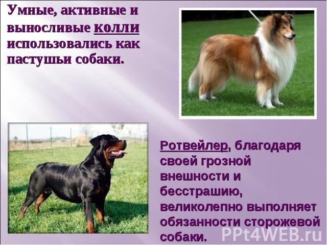 Умные, активные и выносливые колли использовались как пастушьи собаки.Ротвейлер, благодаря своей грозной внешности и бесстрашию, великолепно выполняет обязанности сторожевой собаки.