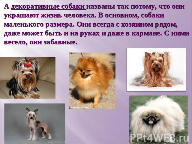 А декоративные собаки названы так потому, что они украшают жизнь человека. В основном, собаки маленького размера. Они всегда с хозяином рядом, даже может быть и на руках и даже в кармане. С ними весело, они забавные.