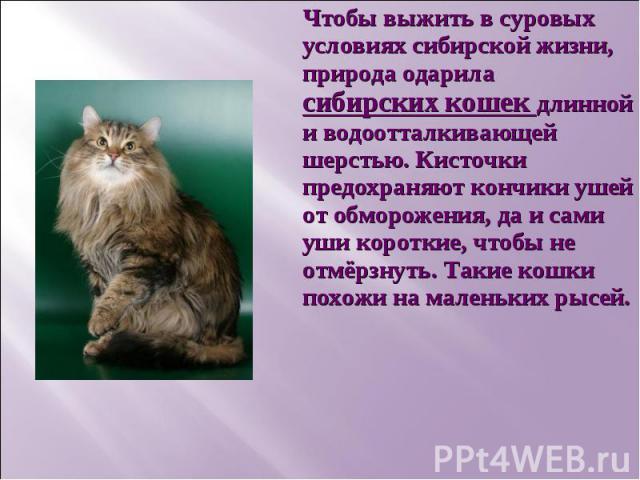 Чтобы выжить в суровых условиях сибирской жизни, природа одарила сибирских кошек длинной и водоотталкивающей шерстью. Кисточки предохраняют кончики ушей от обморожения, да и сами уши короткие, чтобы не отмёрзнуть. Такие кошки похожи на маленьких рысей.