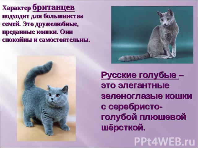 Характер британцев подходит для большинства семей. Это дружелюбные, преданные кошки. Они спокойны и самостоятельны. Русские голубые – это элегантные зеленоглазые кошки с серебристо-голубой плюшевой шёрсткой.