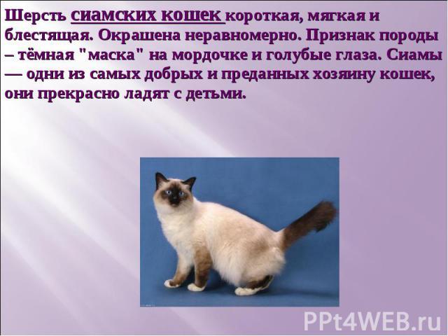 Шерсть сиамских кошек короткая, мягкая и блестящая. Окрашена неравномерно. Признак породы – тёмная