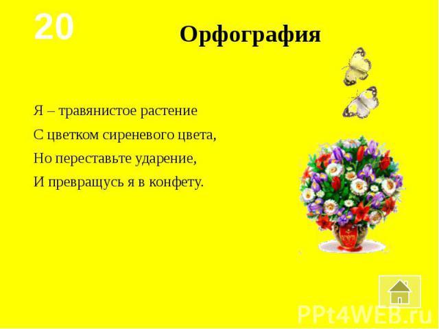 ОрфографияЯ – травянистое растениеС цветком сиреневого цвета,Но переставьте ударение,И превращусь я в конфету.