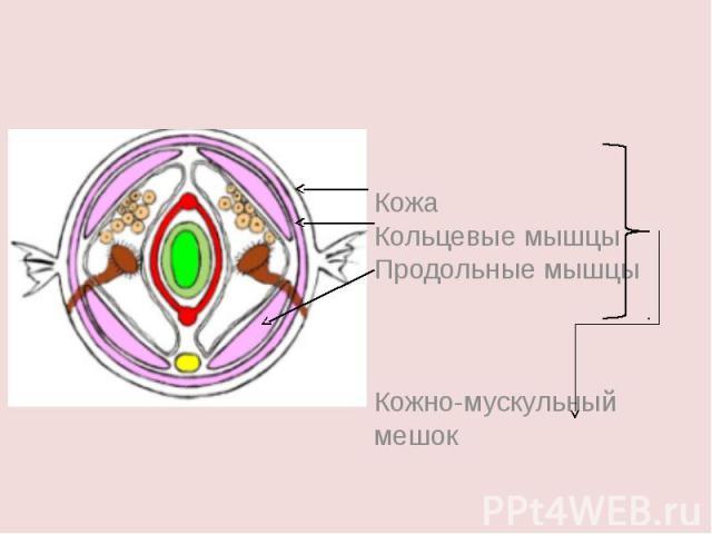 КожаКольцевые мышцыПродольные мышцыКожно-мускульный мешок
