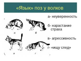 «Язык» поз у волков а- неуверенность б- нарастание страхав- агрессивностьг- «ищу