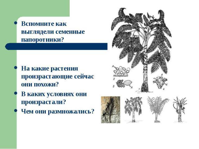Вспомните как выглядели семенные папоротники? Вспомните как выглядели семенные папоротники? На какие растения произрастающие сейчас они похожи? В каких условиях они произрастали? Чем они размножались?