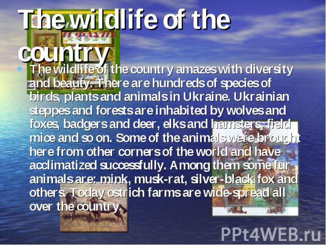 The wildlife of the country The wildlife of the country amazes with diversity and beauty. There are hundreds of species of birds, plants and animals in Ukraine. Ukrainian steppes and forests are inhabited by wolves and foxes, badgers and deer, elks …