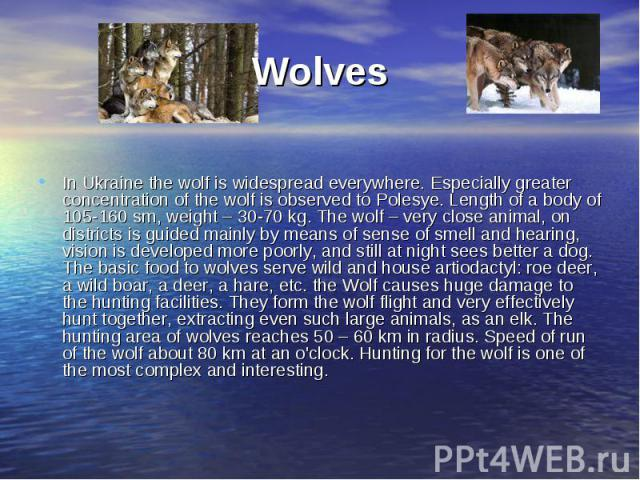 Wolves In Ukraine the wolf is widespread everywhere. Especially greater concentration of the wolf is observed to Polesye. Length of a body of 105-160 sm, weight – 30-70 kg. The wolf – very close animal, on districts is guided mainly by means of sens…