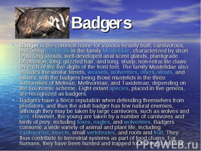 BadgersBadger is the common name for various heavily built, carnivorous, burrowing mammals in the family Mustelidae, characterized by short legs, long snouts, well-developed anal scent glands, plantigrade locomotion, long, grizzled hair, and long, s…
