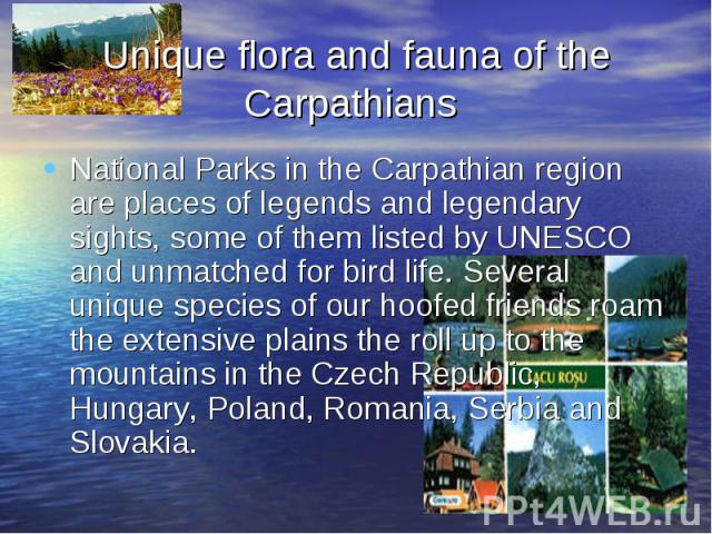 Unique flora and fauna of the Carpathians National Parks in the Carpathian region are places of legends and legendary sights, some of them listed by UNESCO and unmatched for bird life. Several unique species of our hoofed friends roam the extensive …