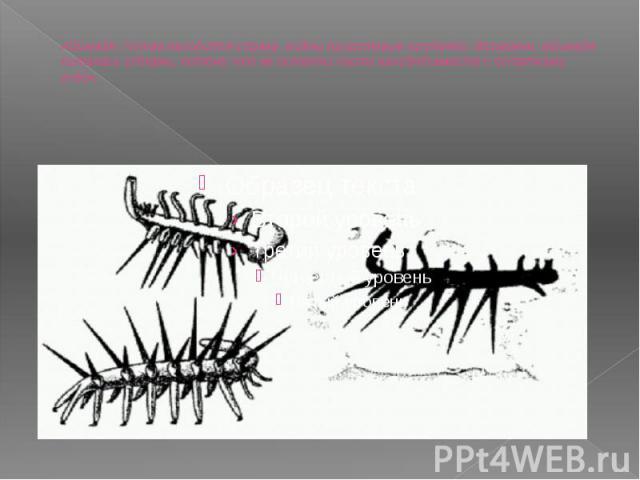 Айшеайя. Голова находится справа, видны приротовые придатки. Возможно, айшеайя питалась губками, потому что ее остатки часто находят вместе с остатками губок.