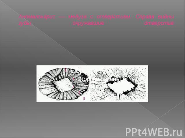 Аномалокарис — медуза с отверстием. Справа видны зубы, окружавшие отверстие