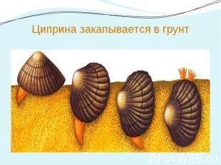 Циприна закапывается в грунт