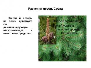 Растения лесов. Сосна Настои и отвары из почек действуют как дезинфицирующее, от