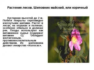 Растения лесов. Шиповник майский, или коричный Кустарник высотой до 2 м. Побеги
