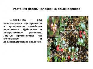 Растения лесов. Толокнянка обыкновенная ТОЛОКНЯНКА – род вечнозеленых кустарничк