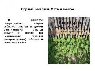 Сорные растения. Мать-и-мачеха В качестве лекарственного сырья собирают листья и