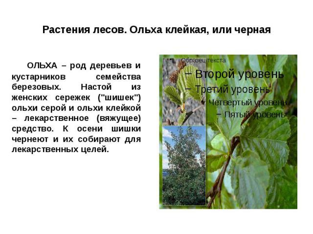 """Растения лесов. Ольха клейкая, или черная ОЛЬХА – род деревьев и кустарников семейства березовых. Настой из женских сережек (""""шишек"""") ольхи серой и ольхи клейкой – лекарственное (вяжущее) средство. К осени шишки чернеют и их собирают для л…"""