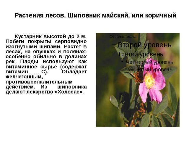 Растения лесов. Шиповник майский, или коричный Кустарник высотой до 2 м. Побеги покрыты серповидно изогнутыми шипами. Растет в лесах, на опушках и полянах; особенно обильно в долинах рек. Плоды используют как витаминное сырье (содержат витамин С). О…