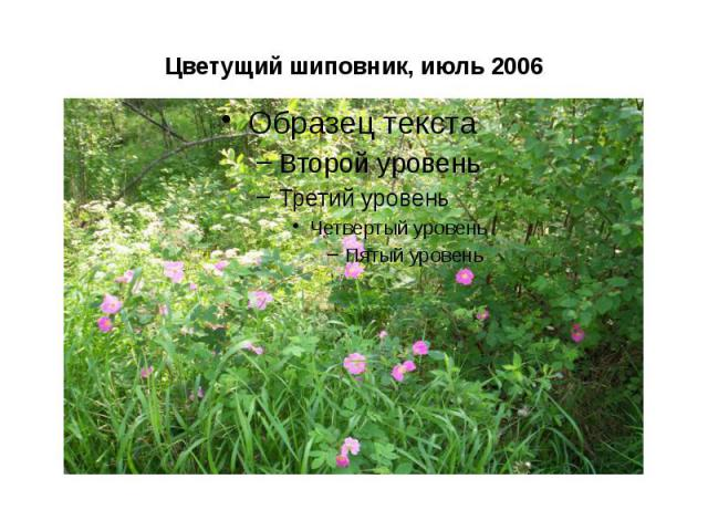 Цветущий шиповник, июль 2006