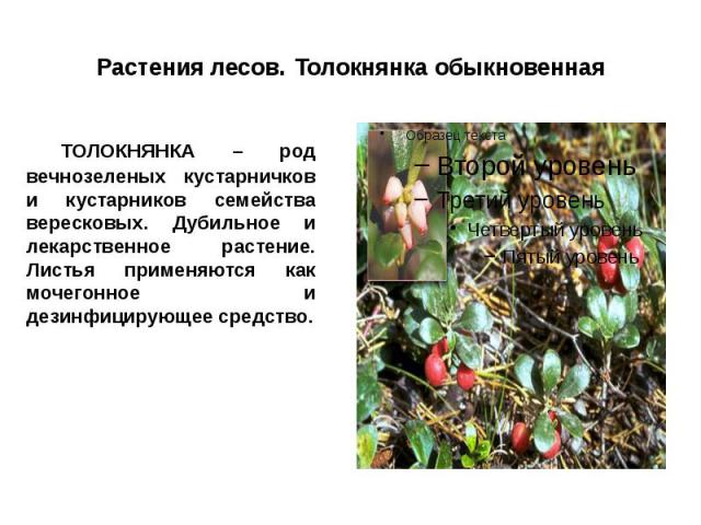 Растения лесов. Толокнянка обыкновенная ТОЛОКНЯНКА – род вечнозеленых кустарничков и кустарников семейства вересковых. Дубильное и лекарственное растение. Листья применяются как мочегонное и дезинфицирующее средство.