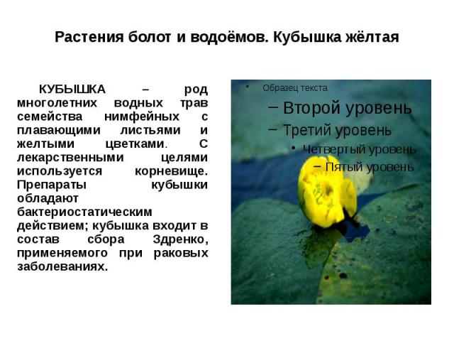 Растения болот и водоёмов. Кубышка жёлтая КУБЫШКА – род многолетних водных трав семейства нимфейных с плавающими листьями и желтыми цветками. С лекарственными целями используется корневище. Препараты кубышки обладают бактериостатическим действием; к…