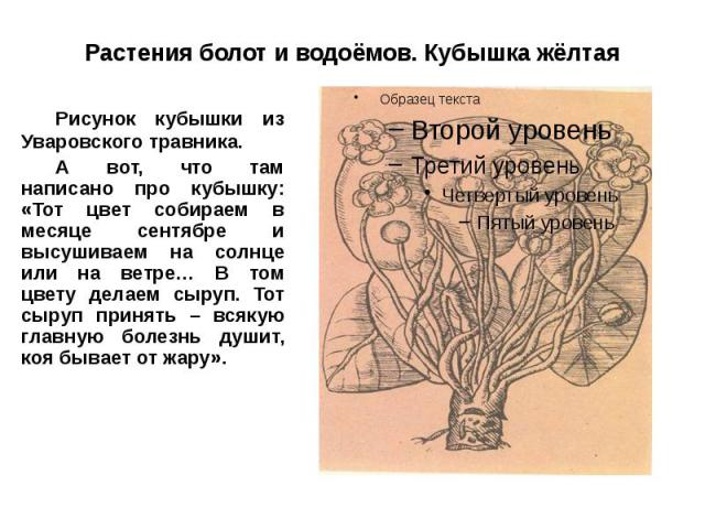 Растения болот и водоёмов. Кубышка жёлтая Рисунок кубышки из Уваровского травника. А вот, что там написано про кубышку: «Тот цвет собираем в месяце сентябре и высушиваем на солнце или на ветре… В том цвету делаем сыруп. Тот сыруп принять – всякую гл…