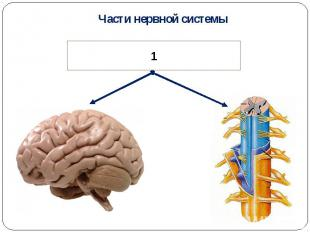 Части нервной системы