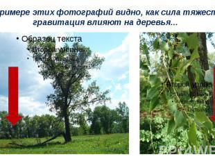 На примере этих фотографий видно, как сила тяжести и гравитация влияют на деревь
