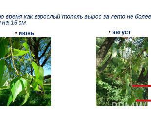 В то время как взрослый тополь вырос за лето не более чем на 15 см.