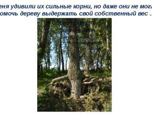 Меня удивили их сильные корни, но даже они не могли помочь дереву выдержать свой