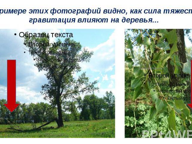 На примере этих фотографий видно, как сила тяжести и гравитация влияют на деревья…