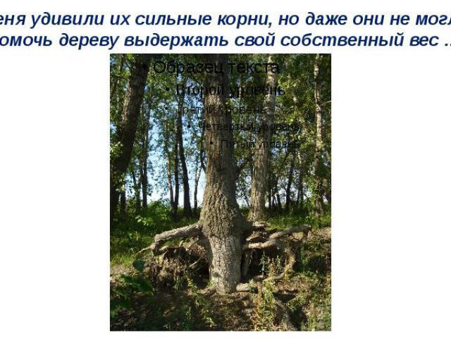 Меня удивили их сильные корни, но даже они не могли помочь дереву выдержать свой собственный вес …