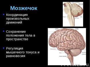 Мозжечок Координация произвольных движений Сохранение положения тела в пространс
