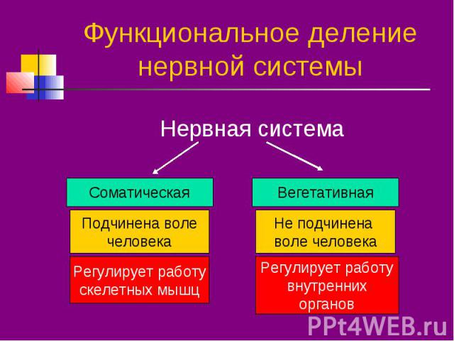 Функциональное деление нервной системы