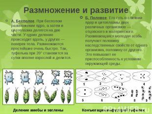 А. Бесполое. При бесполом размножении ядро, а затем и цитоплазма делятся на две