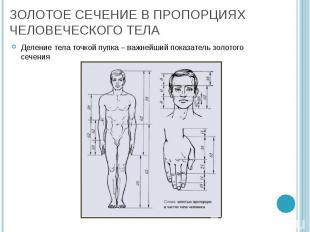 Деление тела точкой пупка – важнейший показатель золотого сечения Деление тела т
