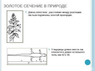 Длина лепестков , расстояние между розетками листьев подчинены золотой пропорции