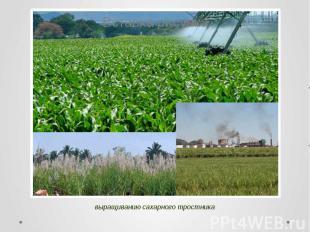 выращиванию сахарного тростника